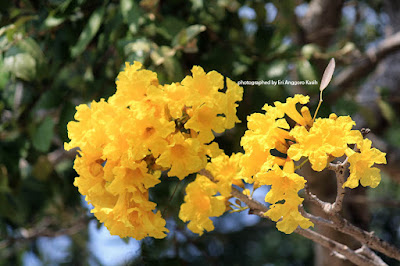 The beauty of Tabebuia