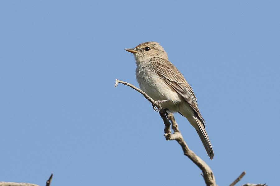 Gambaga Flycatcher