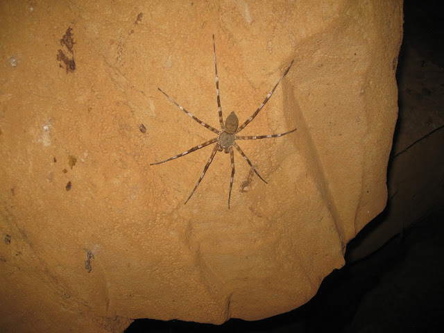 spider in ankarana caves