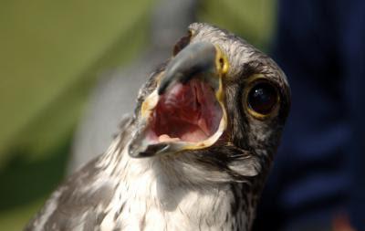 mengobati suara burung yang serak