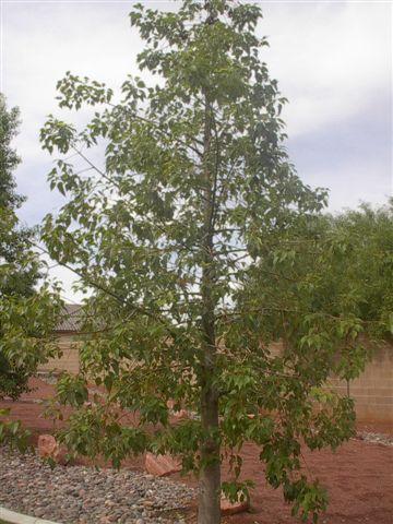 Bottle Tree In Desert Landscape