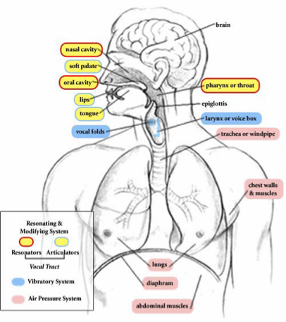 ANATOMY OF THE VOICE  MWES