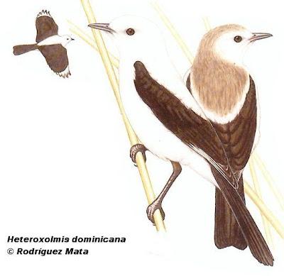 Monjita dominicana Xolmis dominicanus
