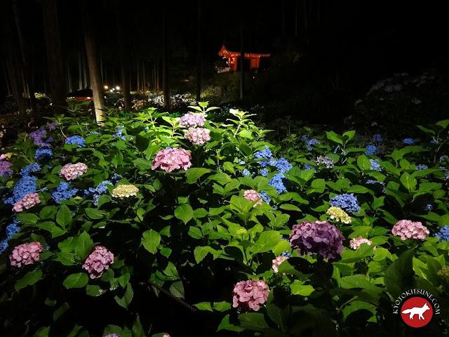 Hortensia éclairées la nuit dans un jardin de Kyoto