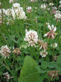 clover, wine, white clover, uses for clover, life on pig row, fleetneedles forage