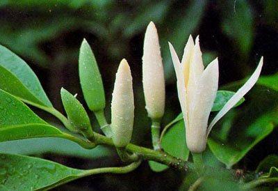 Mitos Dibalik Bunga Kantil Yang Menyeramkan