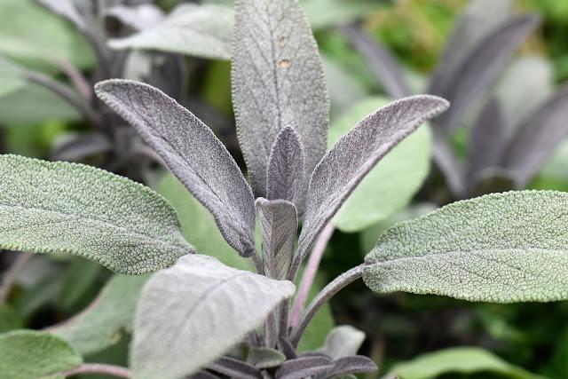 sage-leaves.jpg