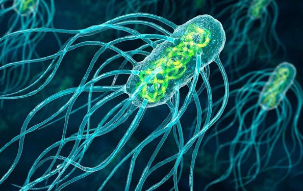 Salmonella Typhi Bacteria