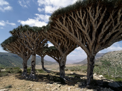 The dragon blood tree