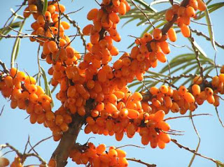 manfaat seabuckthorn