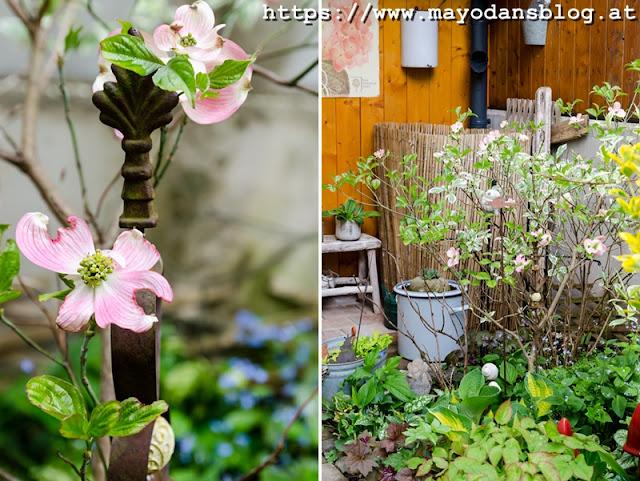 Blumenhartriegel im Frühling