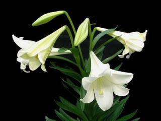 Azucenas blancas 8