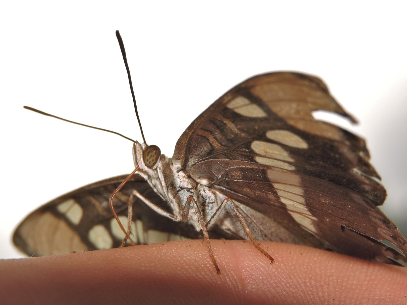 The Amateur Anthecologist Moths And Butterflies Of