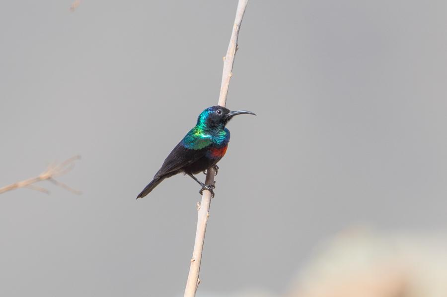 Arabian Sunbird Cinnyris hellmayri