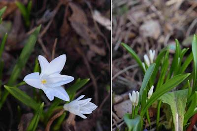 Chinodoxa luciliae 'Alba'