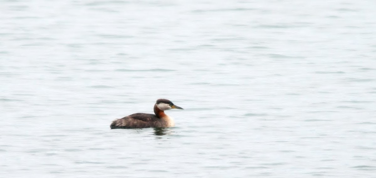 NW Bird Blog: Red-necked Grebe