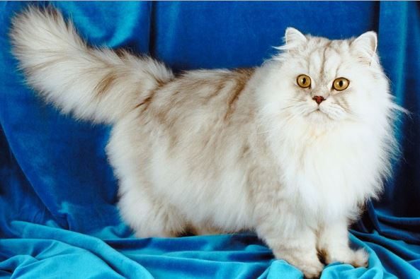 Contoh Persia Breed Quality