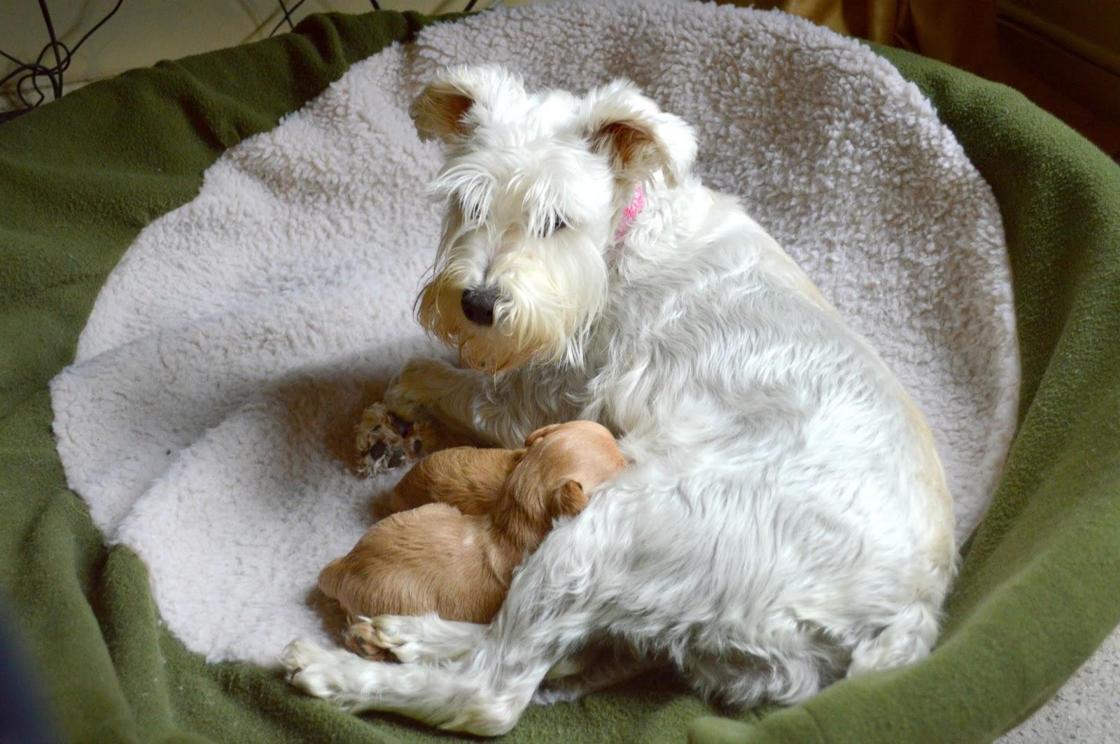 Growing Puppies - Virginia Schnoodle Breeder --Hypoallergenic Dogs ...