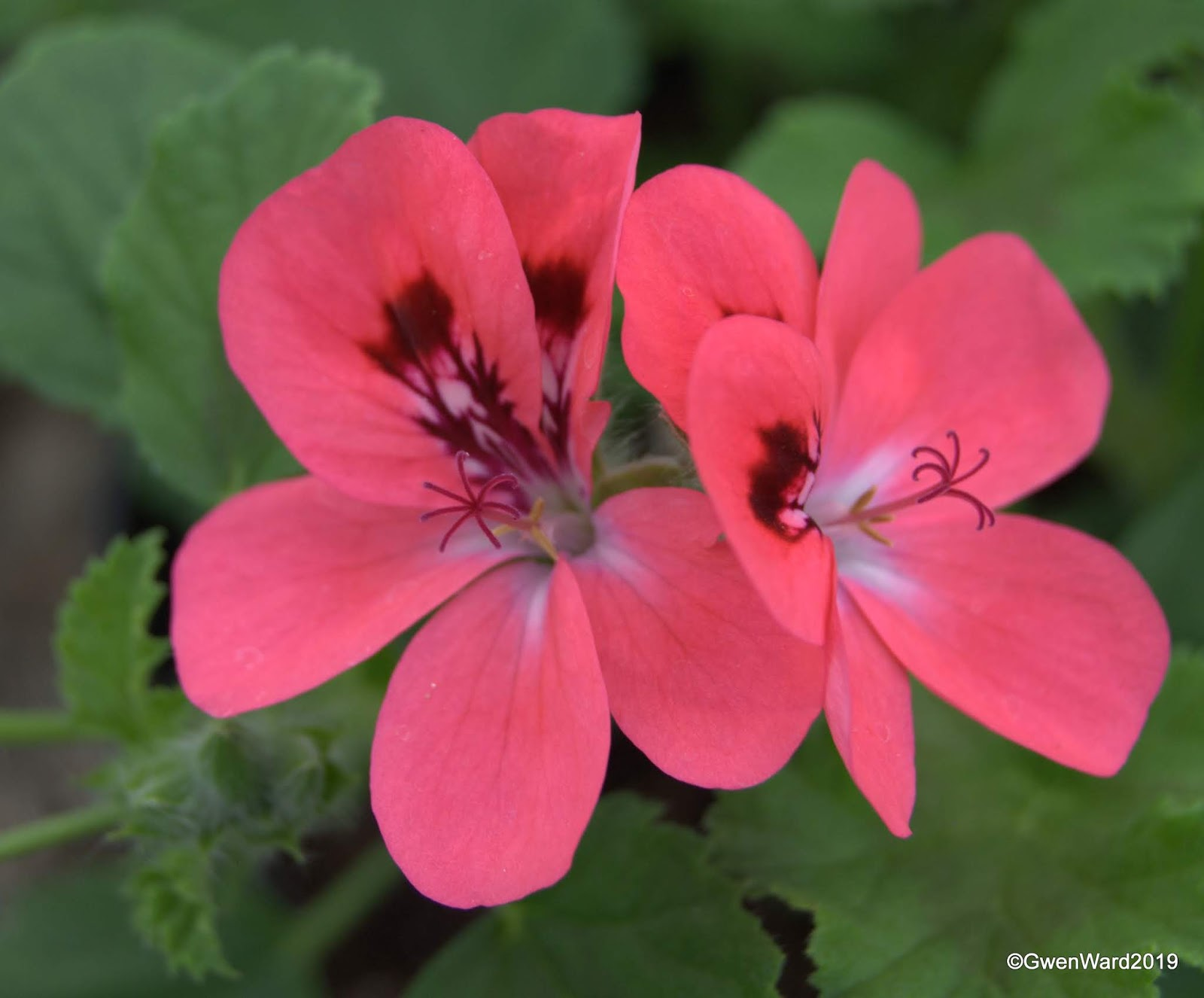 Perfect Pelargoniums Scented Pelargonium Welling And Trip To Sweden