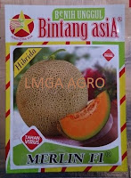 melon daging orange,melon merlin f1,melon daging orange tahan virus,benih melon merlin f1,lmga agro,bintang asia