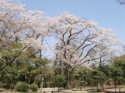源氏山公園の桜