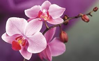 Orchid flower - berbagaireviews.com