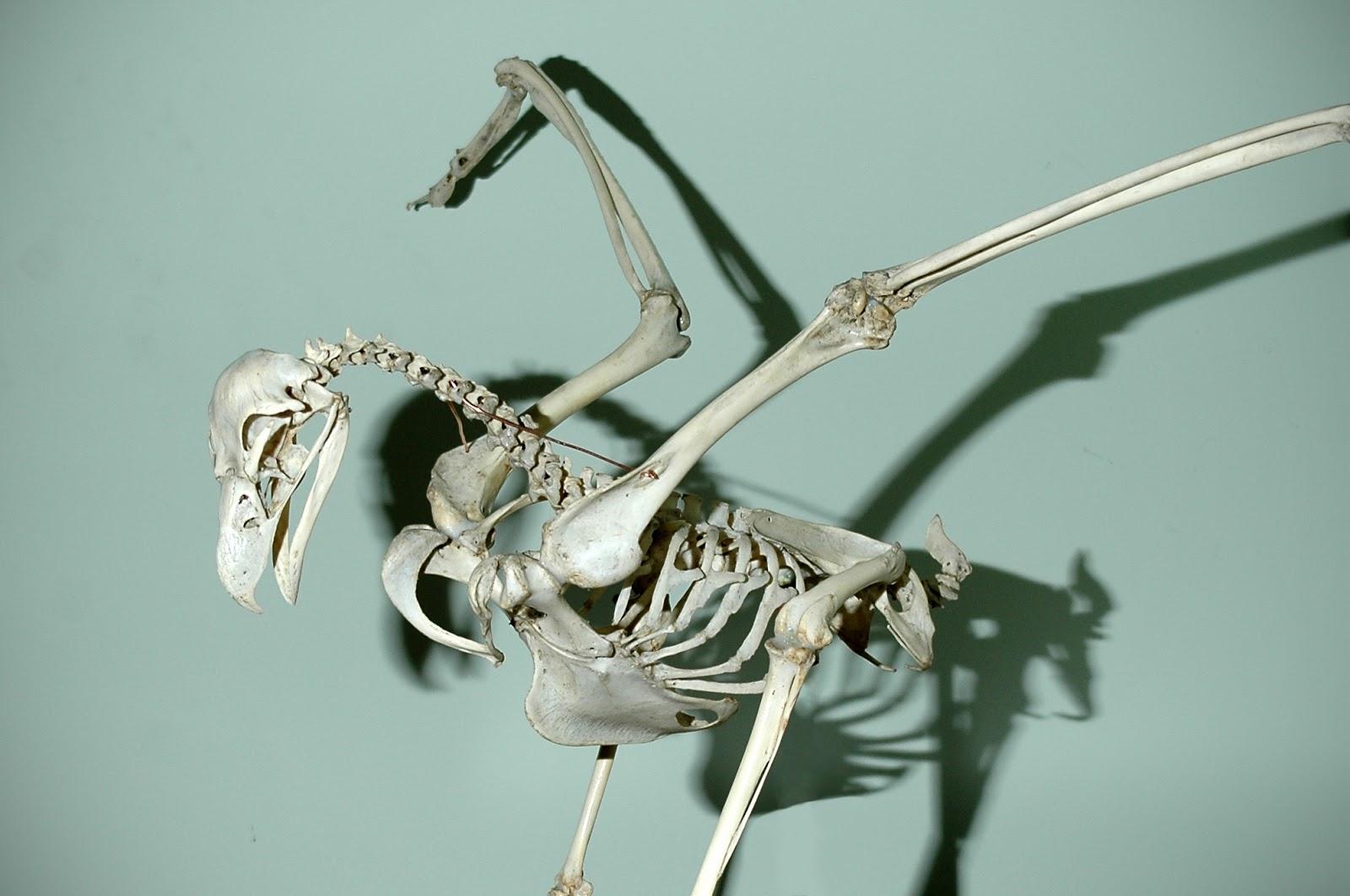 Eagle Anatomy Diagram Directv Dvr Wiring Skeleton Related Keywords Long Tail
