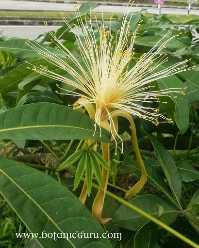 Pachira glabra, Malabar Chestnut flower