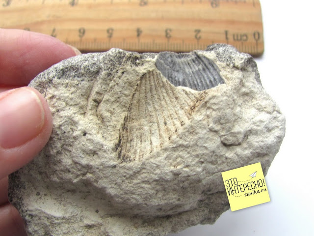 Ископаемый двустворчатый моллюск спондилис Белая скала, Крым