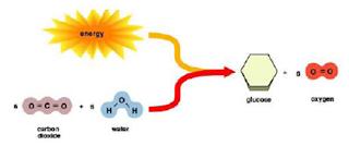 Skema sederhana anabolisme pada tumbuhan
