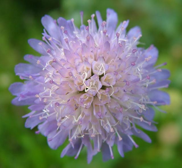 pincushion%2Bflower.jpg