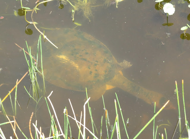 Florida Softshell Turtle - Wakodahatchee Wetlands, Florida