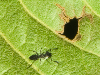 葉っぱに蟻(アリ)を印刷