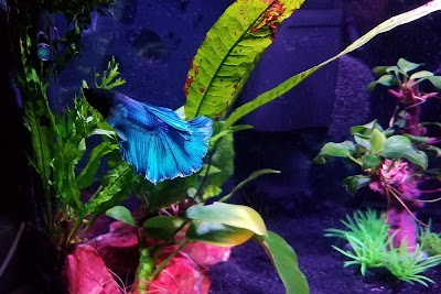 Betta tank with narrow leaf java fern, windelov lace java fern, and anubias nana petite
