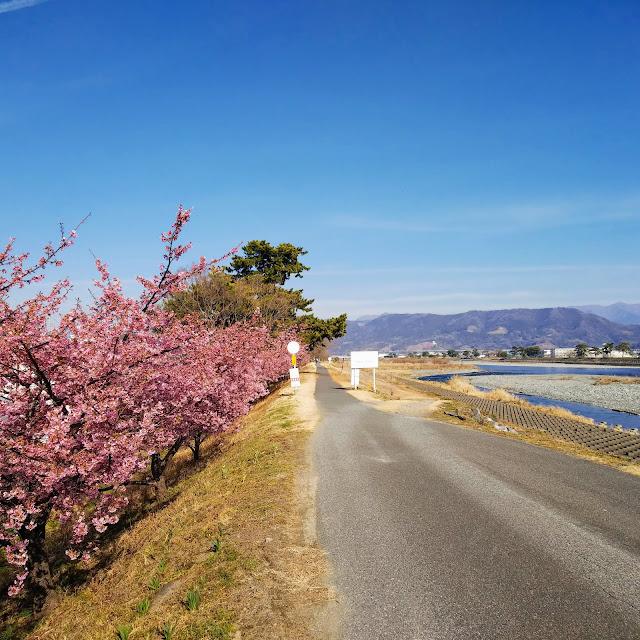 酒匂川サイクリングロード 河津桜