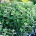 Μαντζουράνα, ένα φυσικό ηρεμιστικό στον κήπο μας...