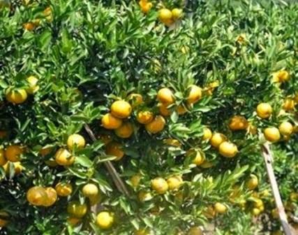 jeruk keprok siam lokal banyuwangi