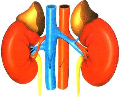 Ilustración de los riñones del cuerpo humano a colores