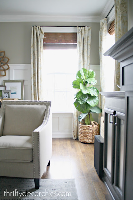 How to grow fiddle leaf fig