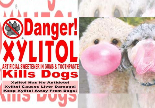 xylitol is toxic