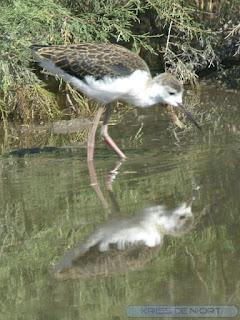 Echasse blanche - Echasse à manteau noir - Echasse à pieds rouges - Himantopus himantopus