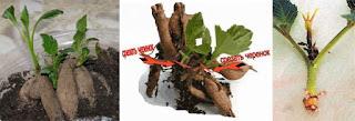 черенкование георгинов, как черенковать георгины, выращивание георгинов, деление клубней георгинов, георгины