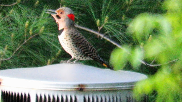 Video: Loudest Woodpecker Drumming