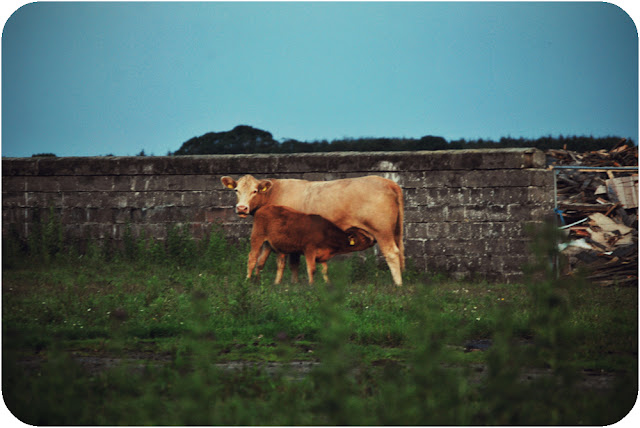 Suckling calf near Crimond airfield Aberdeenshire