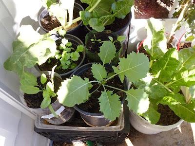 Kale 4 weeks