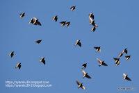 ムクドリの群れの写真
