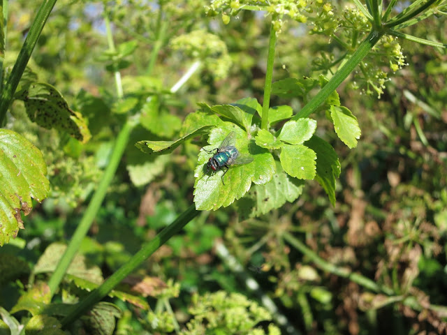 Green Bottle Fly on Alexanders leaf.