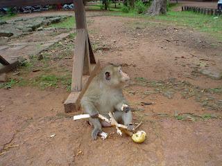 Mono comer em templos de Angkor - Camboja