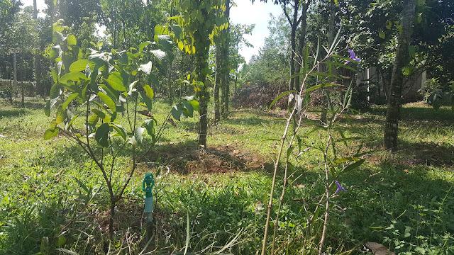 Cây ổi, mua về ban công ngắm đã đời, sau cùng cũng xuống vườn để tiếp tục phát triển