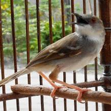 Cara Menaikkan Volume Suara Burung Ciblek